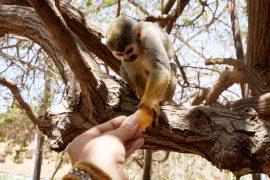 Ein Lemur isst eine Mandarine