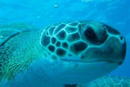 große Schildkröte