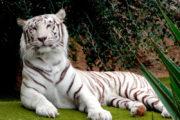 Wunderschöner weißer Tiger